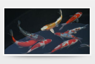 Koi -  our living jewels